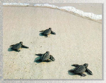 sea turtles, hatchlings, wildlife, Ft. Myers Beach, vacation rental, house, home